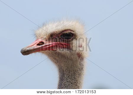 Ostrich with feathered eye lashes on his head.
