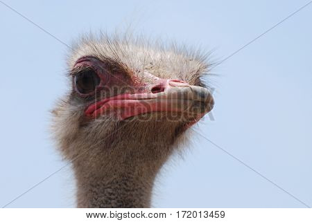 Ostrich with feathers standing up around his head.