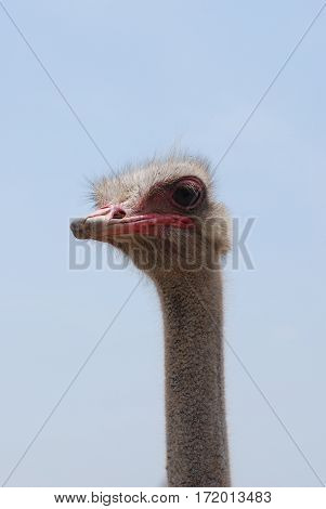 Long necked ostrich bird at the ostrich farm in Aruba.