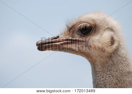 Blue sky on a common ostrich with a long neck.