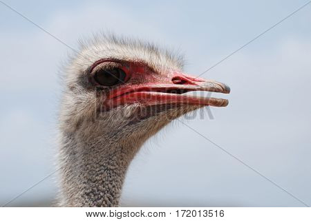 Red coloring on the bill of an ostrich in Aruba.