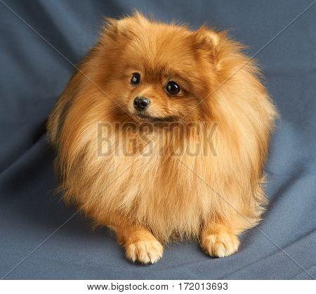 One red Pomeranian spitz lies on gray background