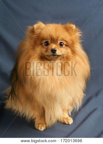 One red Pomeranian spitz sits on gray background