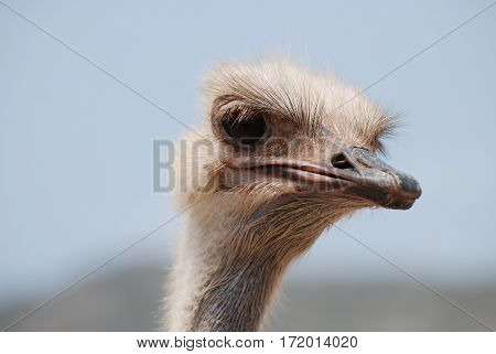 Ostrich with feathers standing up around his face.