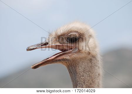 Amazing ostrich with his beak open making lots of noise.