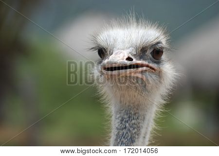Ostrich with his beak slightly open up close and personal.