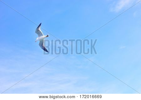 Black-tailed gull flying in the sky at Matsushima Japan