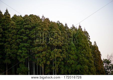 Wide angle view of a forest of cedar trees against a white evening sky. Nobeoka Kyushu Japan. Travel and nature concept.