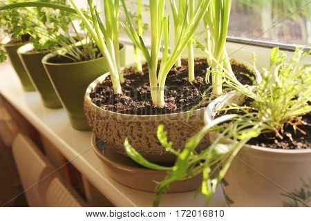 Young plants of onion and herbs growing in pots on windowsill