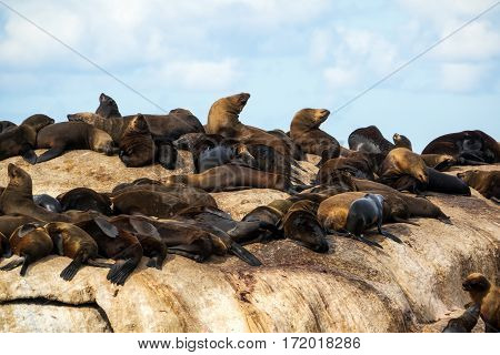 Fur seals at Seal Island Hout Bay South Africa