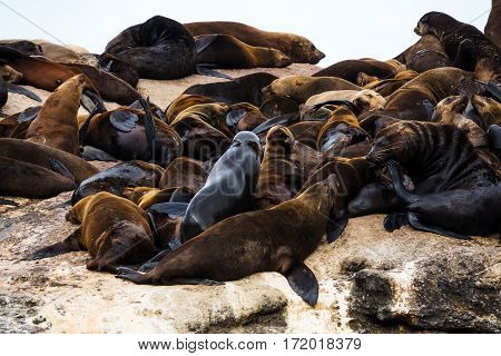 Brown fur seal (Arctocephalus pusillus) colony at Seal Island Hout Bay South Africa