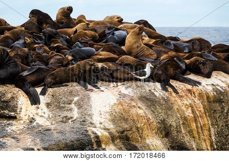 Fur seals (Arctocephalus pusillus) at Seal Island Hout Bay South Africa