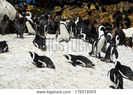 African penguins (Spheniscus demersus) and Cape cormorant birds (Phalacrocorax capensic) at Boulders Beach, South Africa