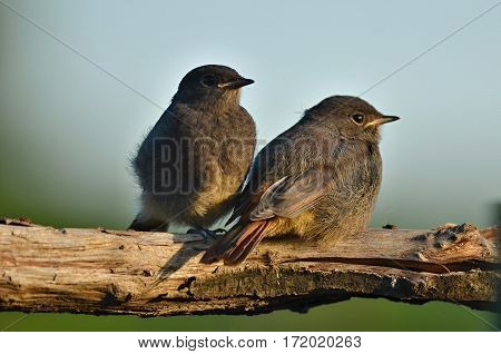 Sitting two chicks Black Redstart after flying out of the nest