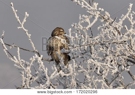 Buzzard sitting in fresh icing on tree deciduous tree