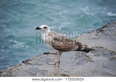 Seagull On Pier