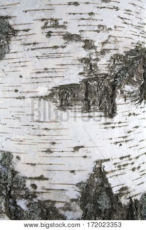 birch bark up close with cracks and stains