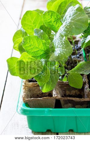 Young Fresh Seedling Stands In A Container On A Wooden Table. Eggplant Plantation. In A Greenhouse T