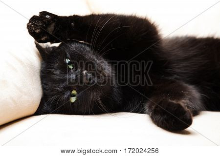 Portrait of a common, european black cat with green eyes and open pawy on white sofa background. Concept of comfortable house, relaxing and safety state of mind. bad luck and superstition.