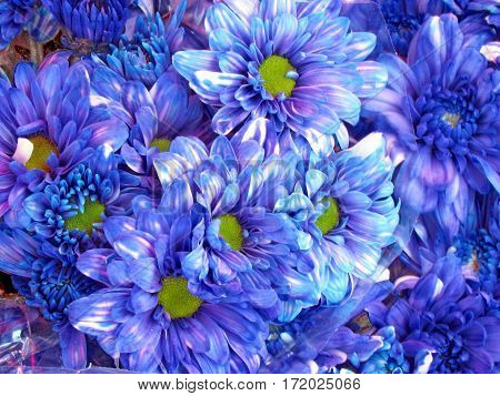 The asters of blue color on bazaar in Tel Aviv Israel August 2 2012