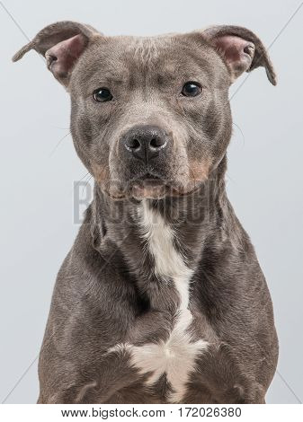 Portrait of a grey pitbull terrier at a grey background