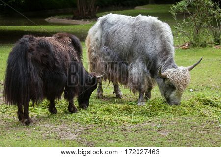 Domestic yak (Bos grunniens). Domestic animal.