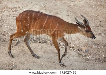 Forest sitatunga (Tragelaphus spekii gratus), also known as the forest marshbuck.