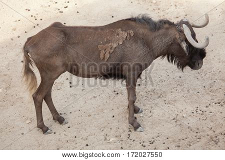 Black wildebeest (Connochaetes gnou), also known as the white-tailed gnu.