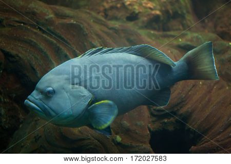 Blue-and-yellow grouper (Epinephelus flavocaeruleus). Marine fish.