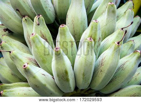 Bunch of raw Silver Bluggoe on a banana tree