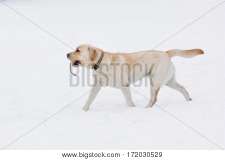 Purebred Labrador dog goes a toy in the snow. Winter