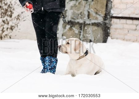 Pedigree dogs Labrador lying in the snow at the feet of a girl