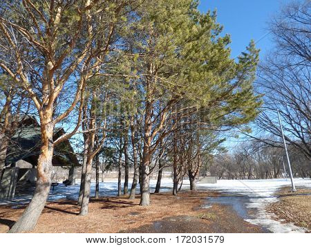 A winter scene in a City Park with Norway Pine trees.