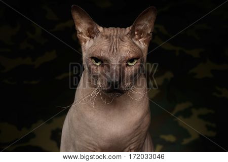 Portrait of Gazing Sphynx Cat, Looks angry on camouflage Background, front view