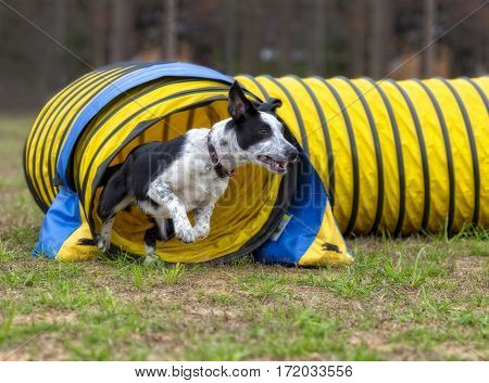 Border Collie running out of a tunnel.