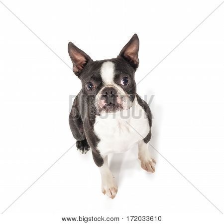 Boston Terrier looking up at camera sitting on white paper.