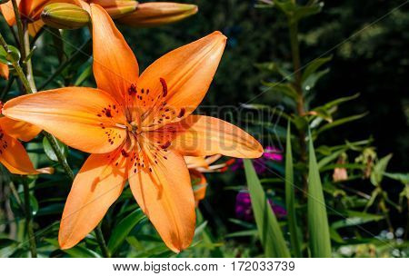 Tiger Lily In The Garden Close-up
