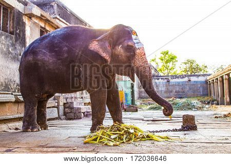 Holy indian elephant in Hampi, Karnataka, India