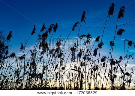 dry cane on dark blue sky background in evening time