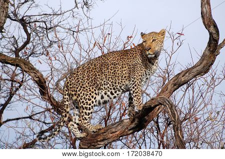 Wonderful Leopard in the Landscape of Namibia