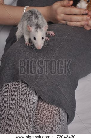 white mouse sitting on the human knees