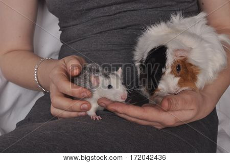 Guinea pig and white mouse sitting in human hands