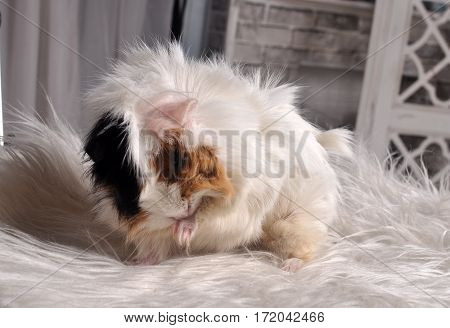 Furry guinea pig sitting on a white fur rug washes