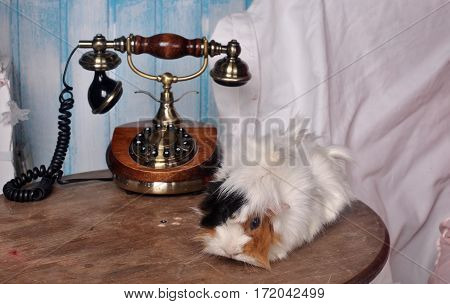 Furry guinea pig sitting on a wooden table near the phone retro