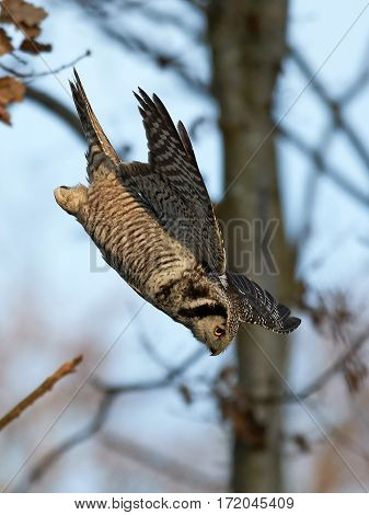Northern hawk-owl (Surnia ulula) in flight hunting for mice in its habitat