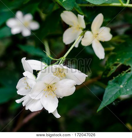 Jasminum Grandiflorum, Also Known Variously As The Spanish Jasmine, Royal Jasmine, Catalonian Jasmin
