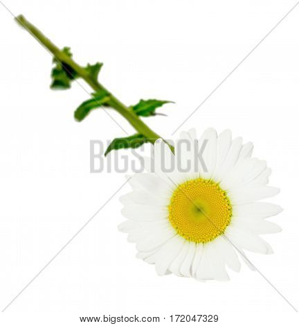 Leucanthemum Vulgare, The Ox-eye Daisy Or Oxeye Daisy (syn. Chrysanthemum Leucanthemum), Close Up, I