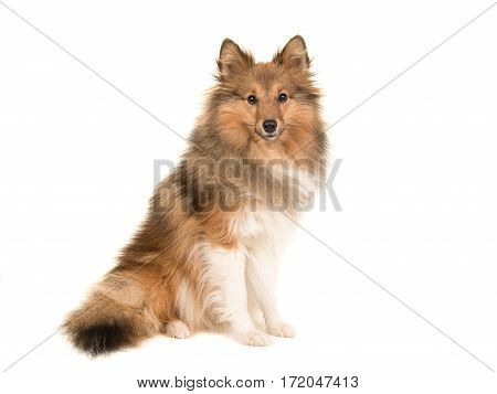 Longhaired shetland sheepdog sitting seen from the side facing the camera isolated on a white background