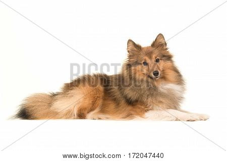 Longhaired shetland sheepdog seen from the side lying down on the floor facing the camera on a white background