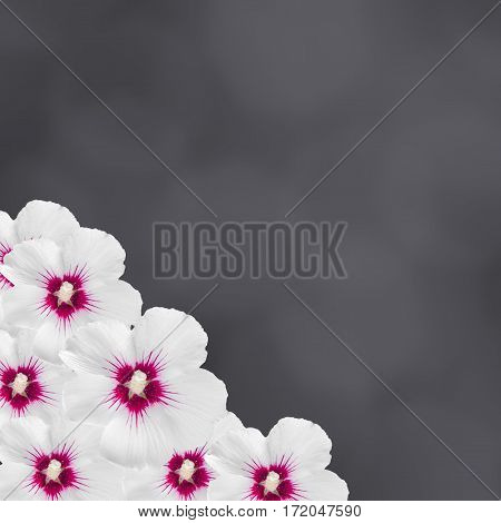 White Hibiscus Rosa-chinensis Flower Frame, Gradient Card Background